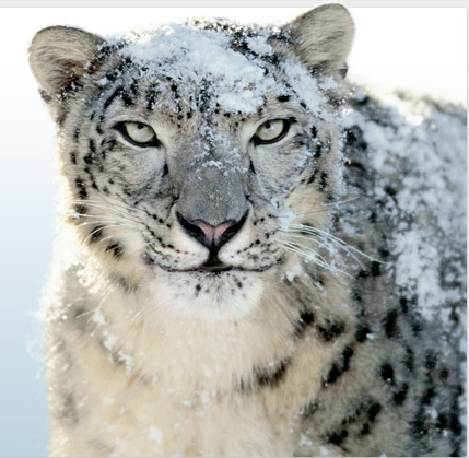 Does Apple Still Support Snow Leopard Leopard Image Hd